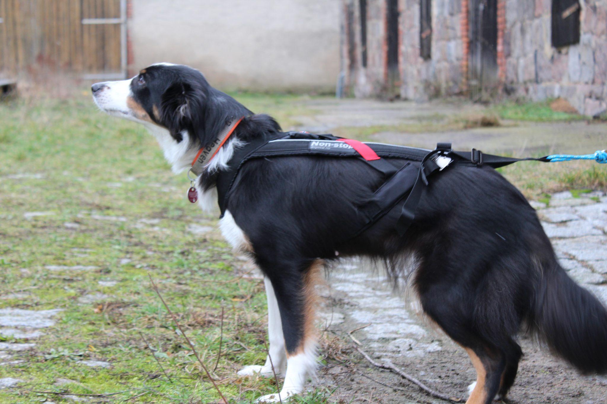 Non-Stop-Geschirr-am-Hund-von-der-Seite