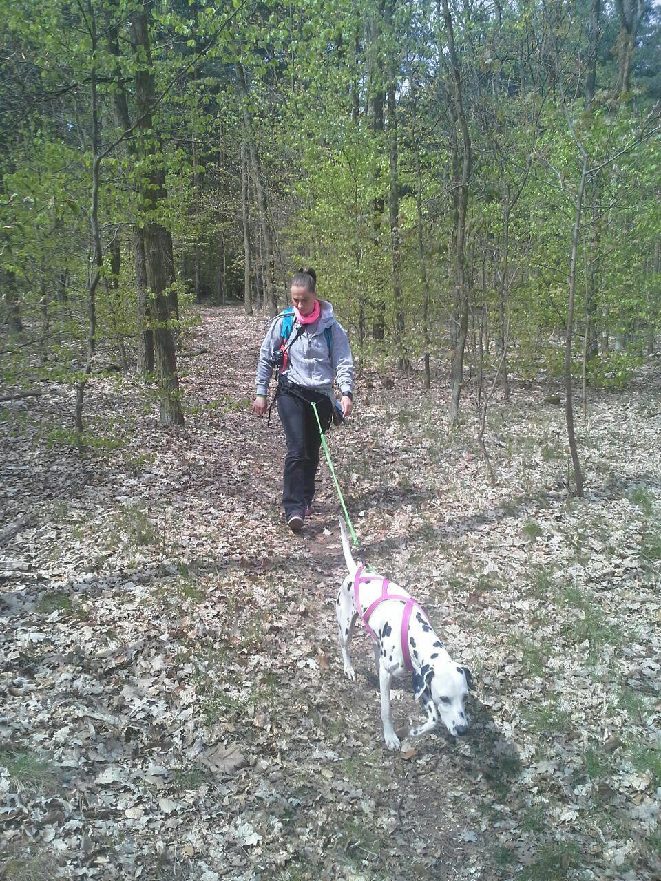 Frau mit Dalmatiner am Zuggeschirr im Wald
