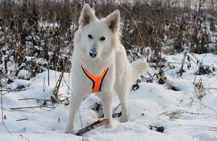 Weißer Schäferhund mit Geschirr spielt mit Stock im Schnee