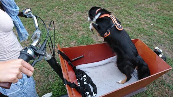 Bakfiets Lastenrad Hund springt aus Transportbox