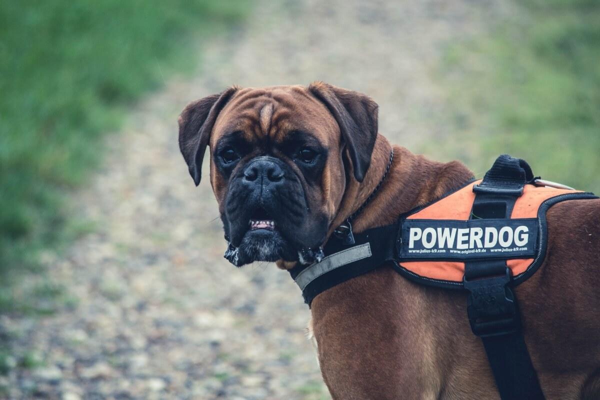 Boxer Hund mit Sattelgeschirr