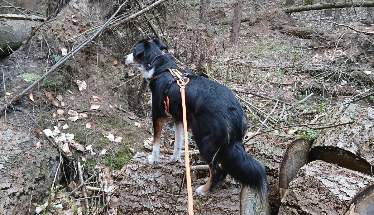 Hund mit Geschirr an der Leine im Wald