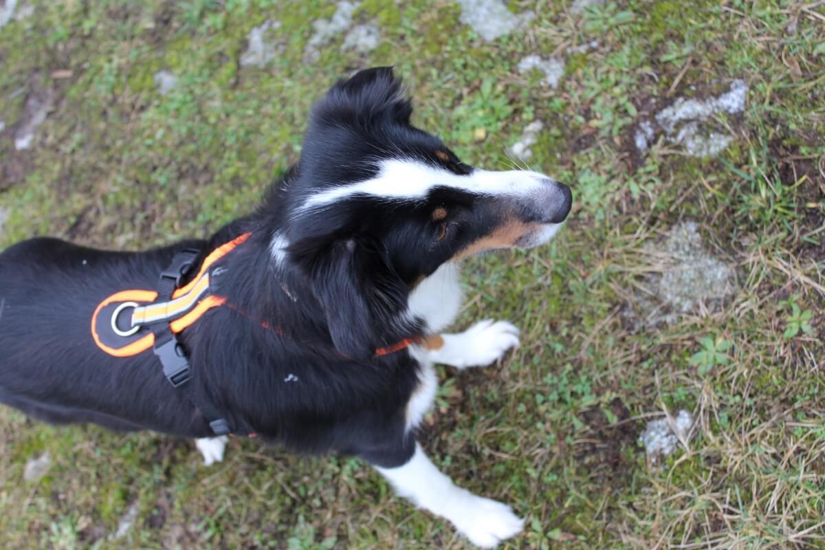 Hund mit Hundegeschirr von oben
