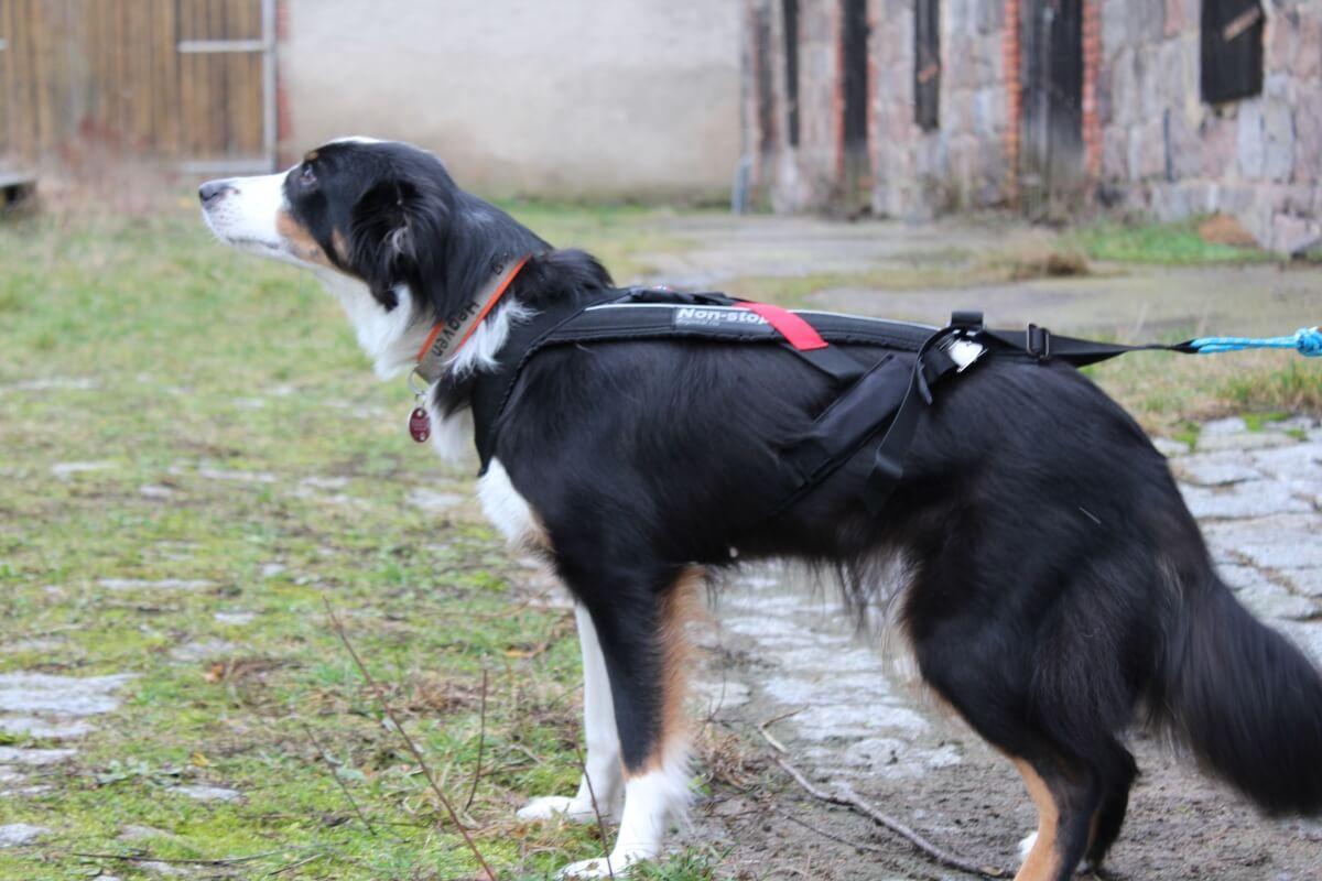 Hund mit Bon-Stop Zuggeschirr