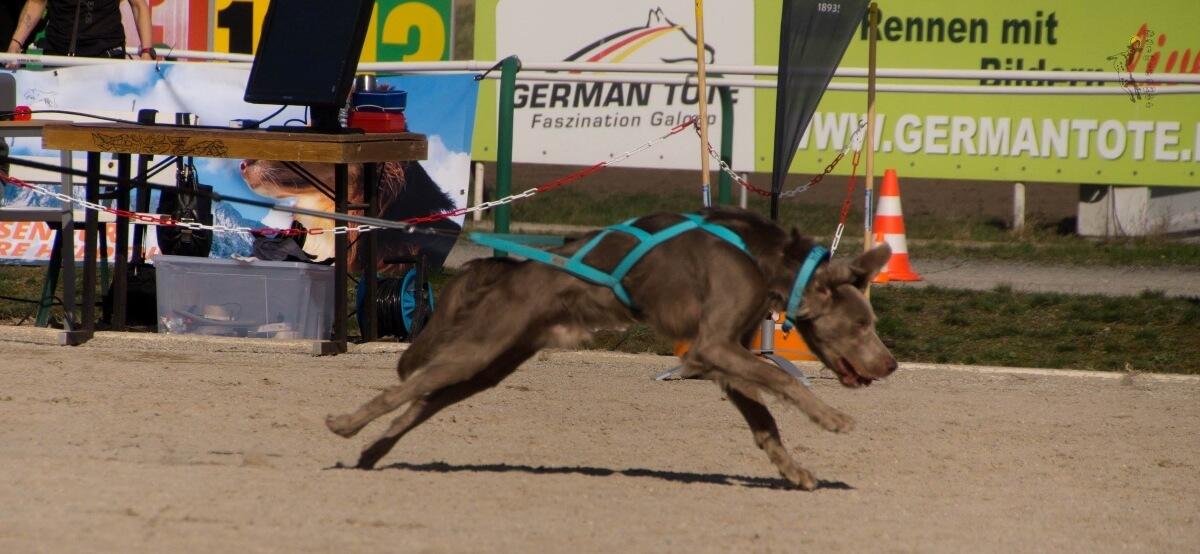 Brauner Hund mit X-Back-Zuggeschirr im Rennen